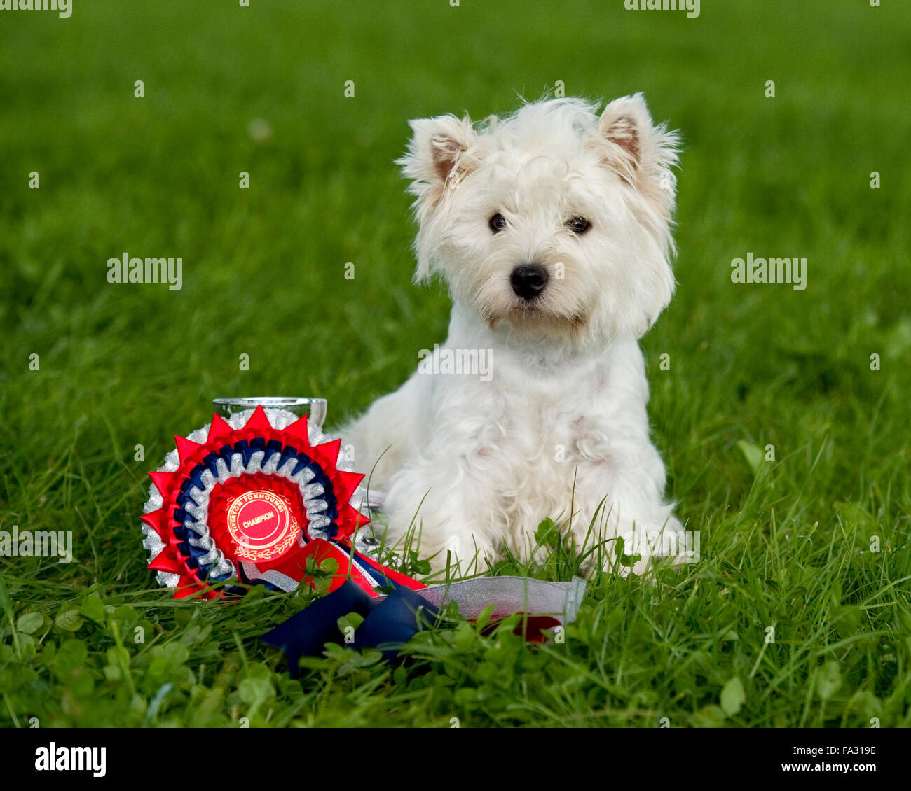 champion westhighland whire terrier at a small show - Stock Image