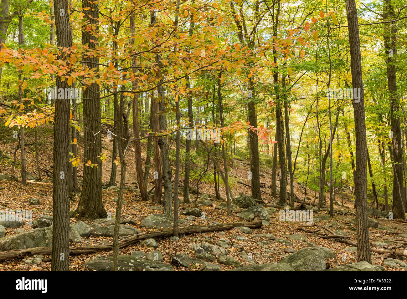 Autumn Leaves line the Major Welch Trail in Bear Mountain State Park, New York - Stock Image