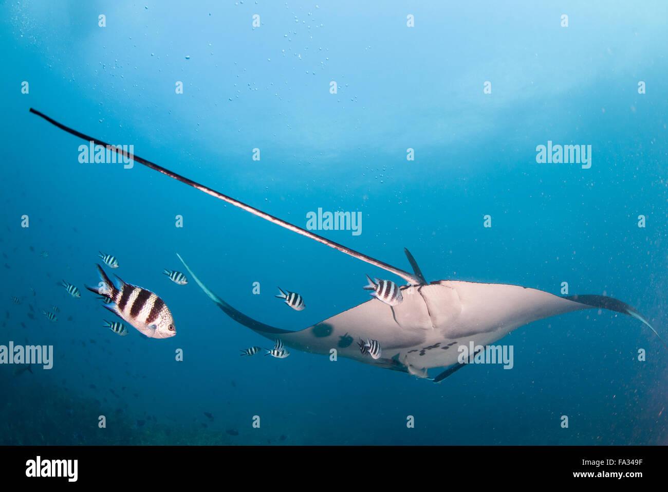 A tail shot of a manta ray - Stock Image