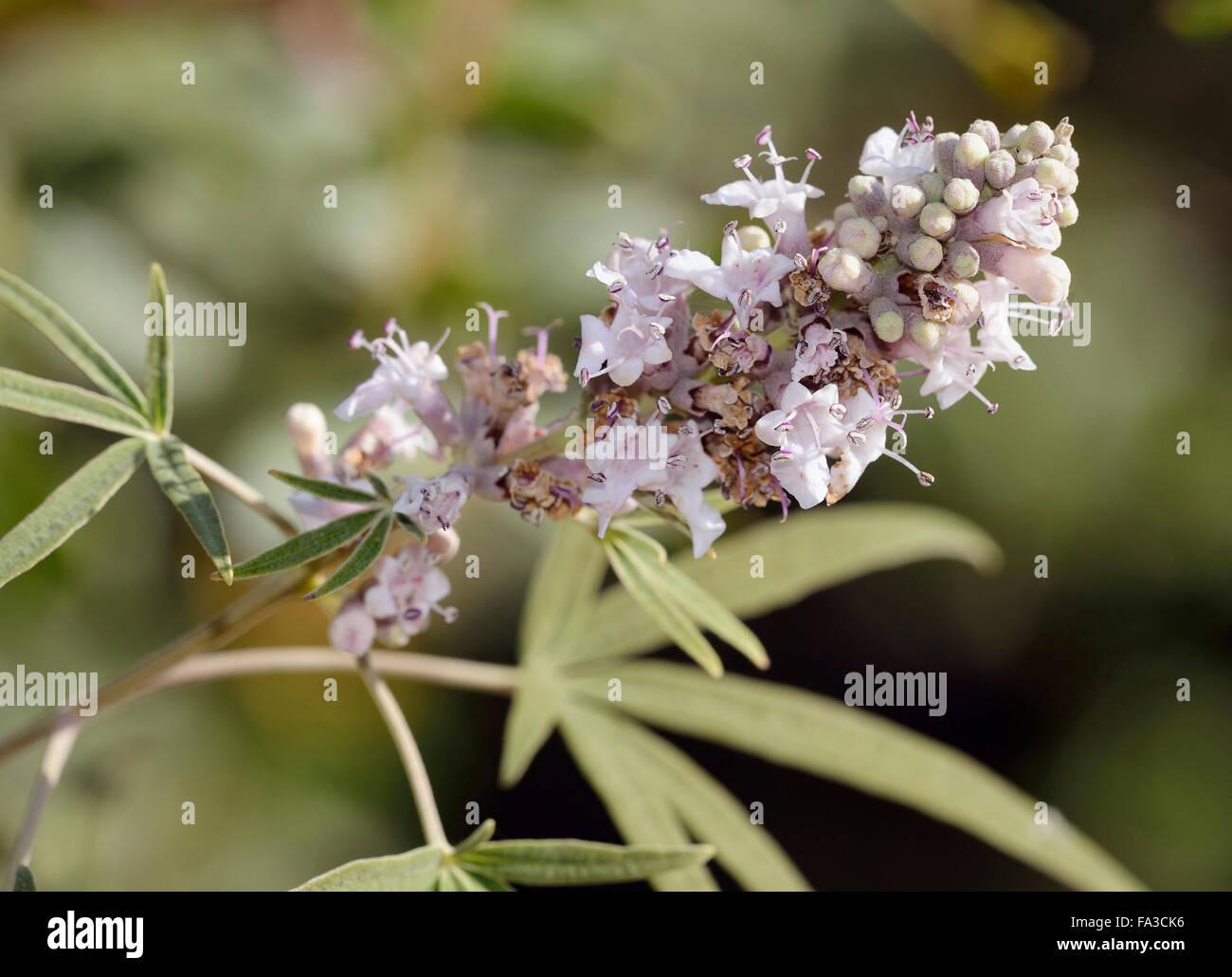 Chaste Tree - Vitex agnus-castus Used in alternative medicine Stock Photo