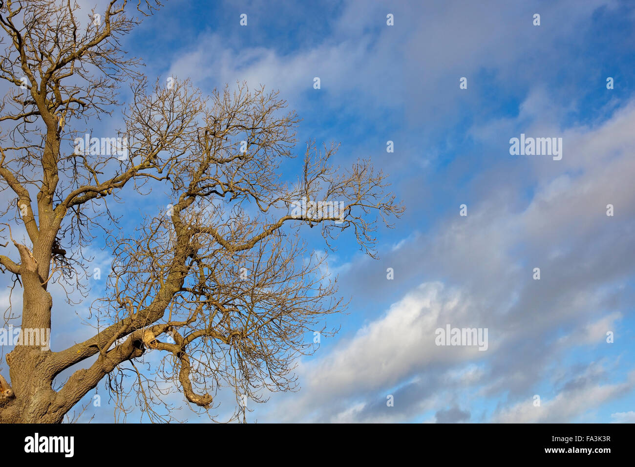 A leafless winter Ash tree with patterned bark and contorted branches under a blue sky with dramatic clouds - Stock Image