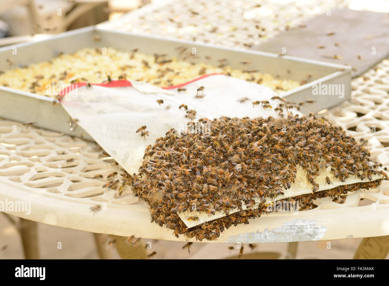 Honey bees cleaning up the beeswax bag that sits inside the honey extractor - Stock Image