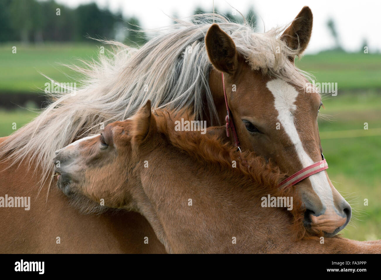 Heavy Draft Horse Lithuania Endangered Breed Rare Stock Photo Alamy