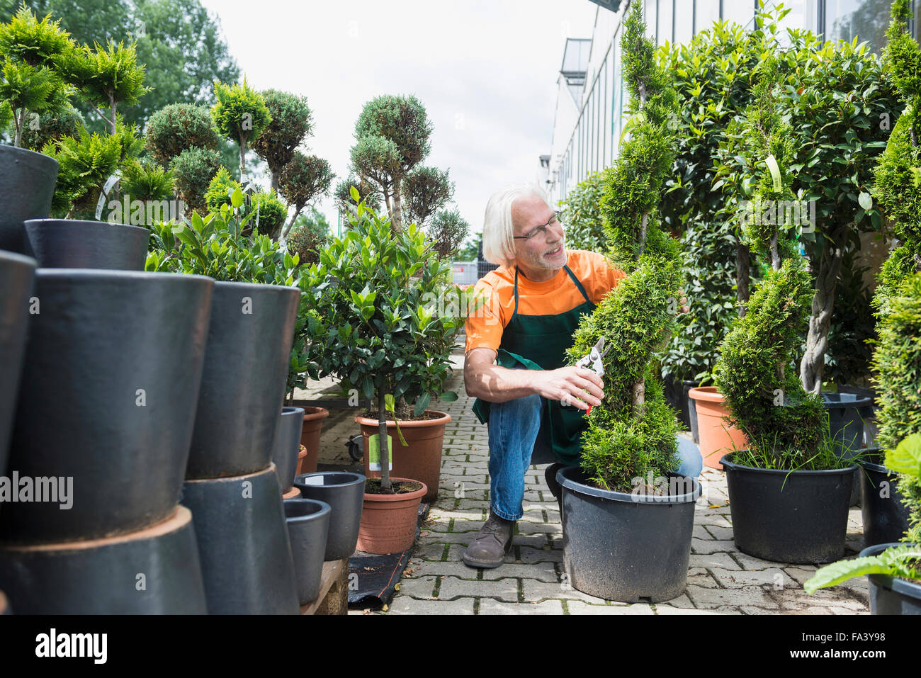 Male gardener pruning a plant in greenhouse, Augsburg, Bavaria, Germany - Stock Image