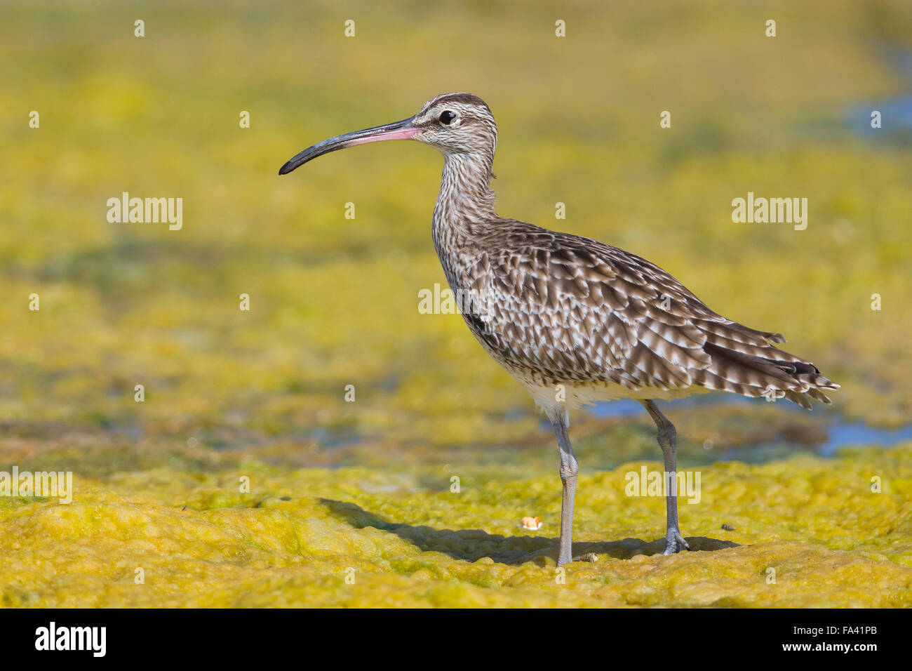 Eurasian Whimbrel, Standing in a swamp. Qurayyat, Muscat Governorate, Oman (Numenius phaeopus) - Stock Image