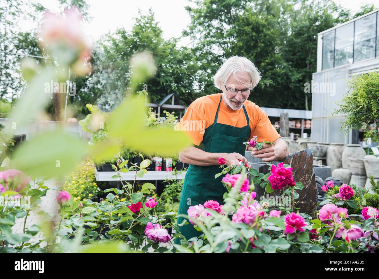 Male gardener trimming roses in greenhouse, Augsburg, Bavaria, Germany - Stock Image