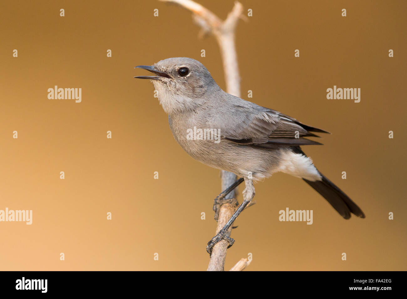 Blackstart, Perched on a twig, Ayn Hamran, Dhofar, Oman (Oenanthe melanura) - Stock Image