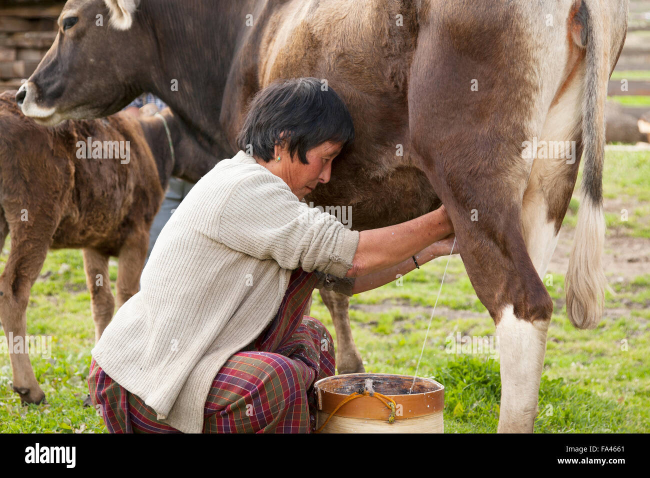 Milking a cow by hand. On a farm in the Phobjikha valley in Bhutan - Stock Image