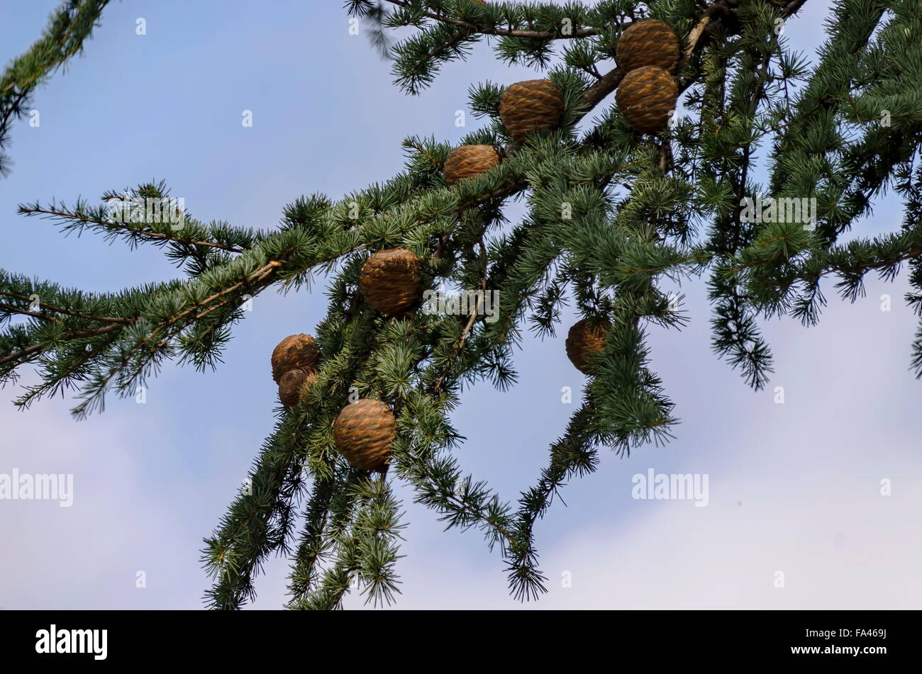 Branch and twig of unknown conifer tree, Bulgaria - Stock Image