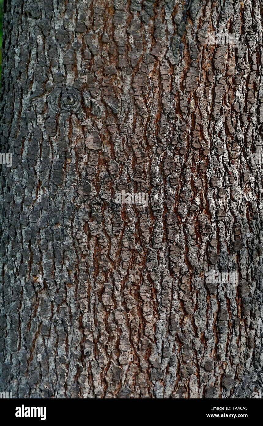 Background from bark of unknown conifer tree - Stock Image