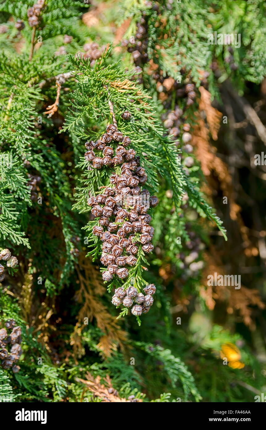 Interesting strobile of conifer tree - Stock Image