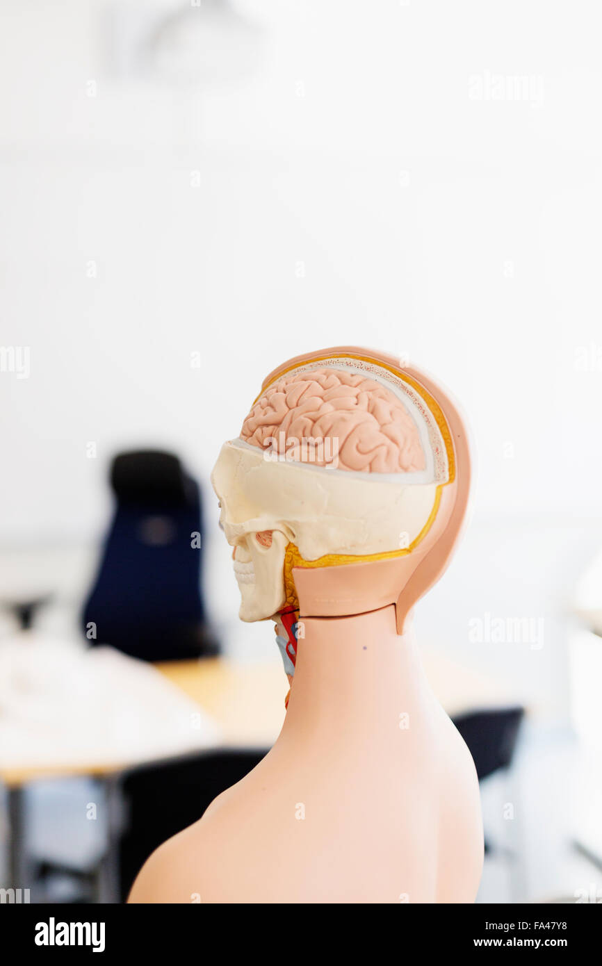 Anatomical model in classroom - Stock Image