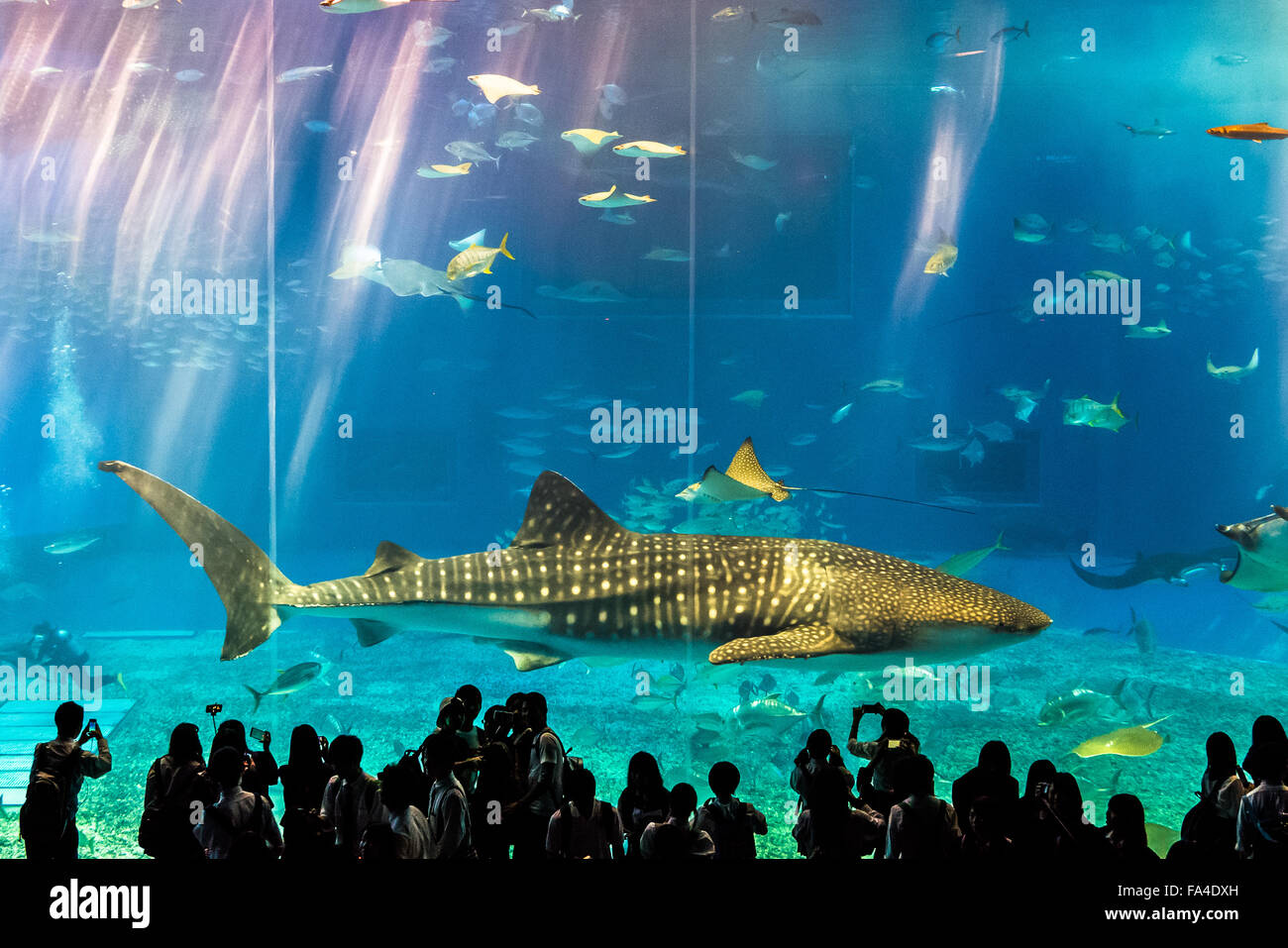 Whale shark and students at the Okinawa Churaumi Aquarium ...