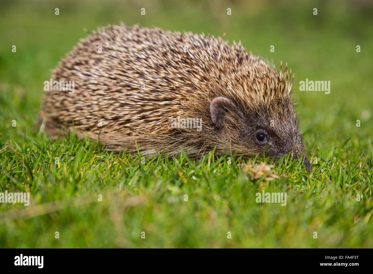 Wild Hedgehog - Stock Image