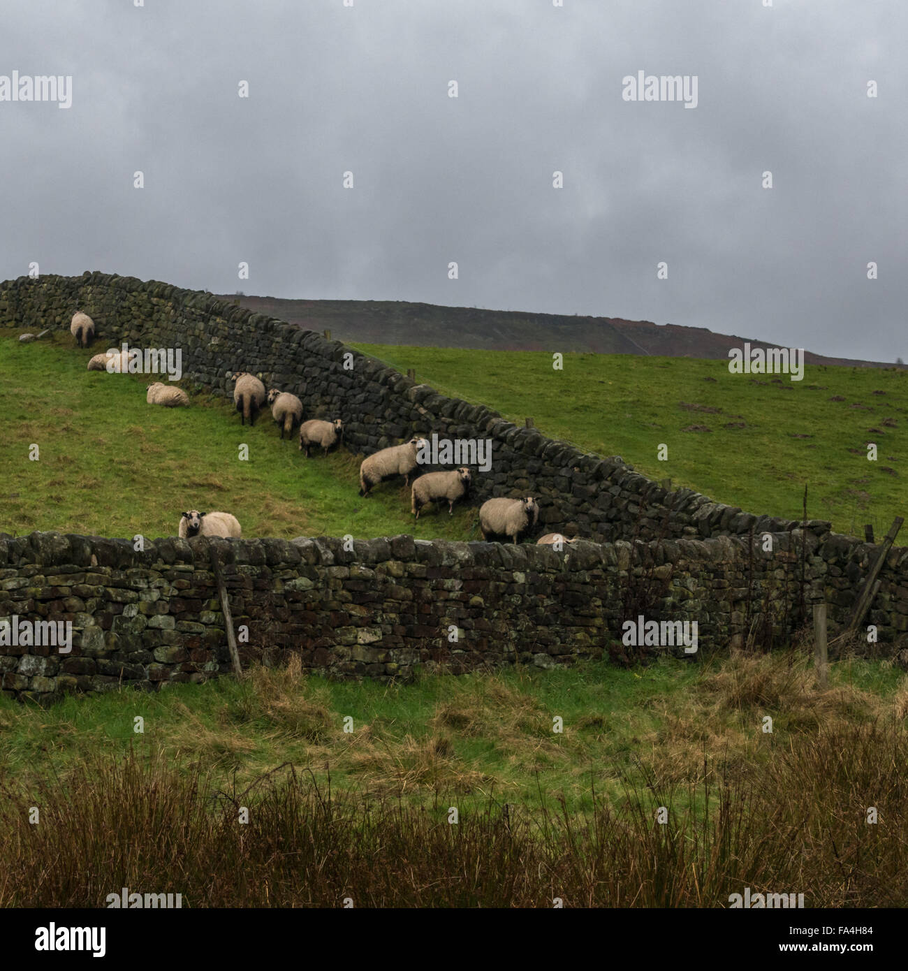 Sheep sheltering from bad weather behind a stone wall in Ilkley, Yorkshire, England, UK - Stock Image