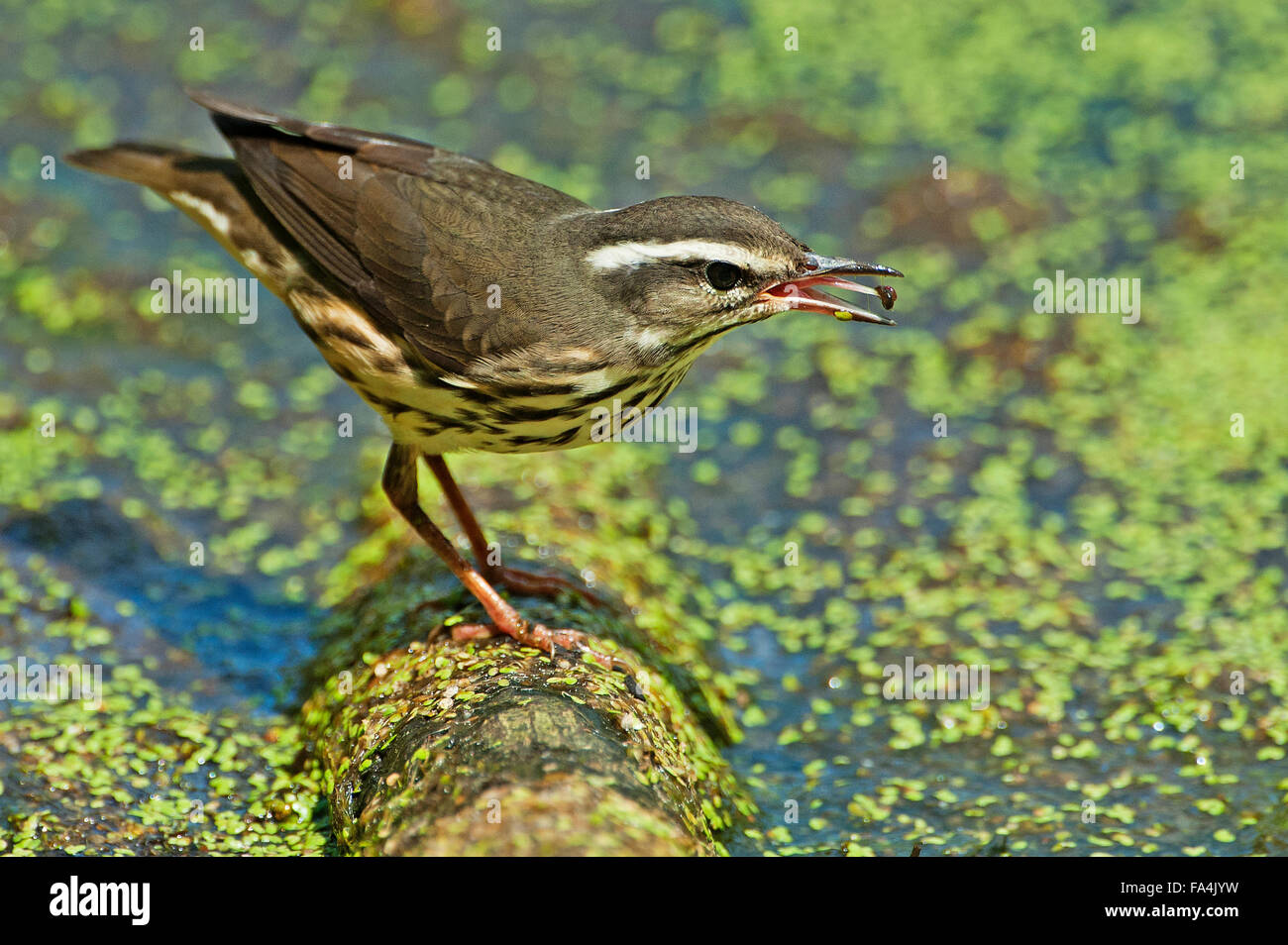 Louisiana Birds Of Prey High Resolution Stock Photography And Images Alamy