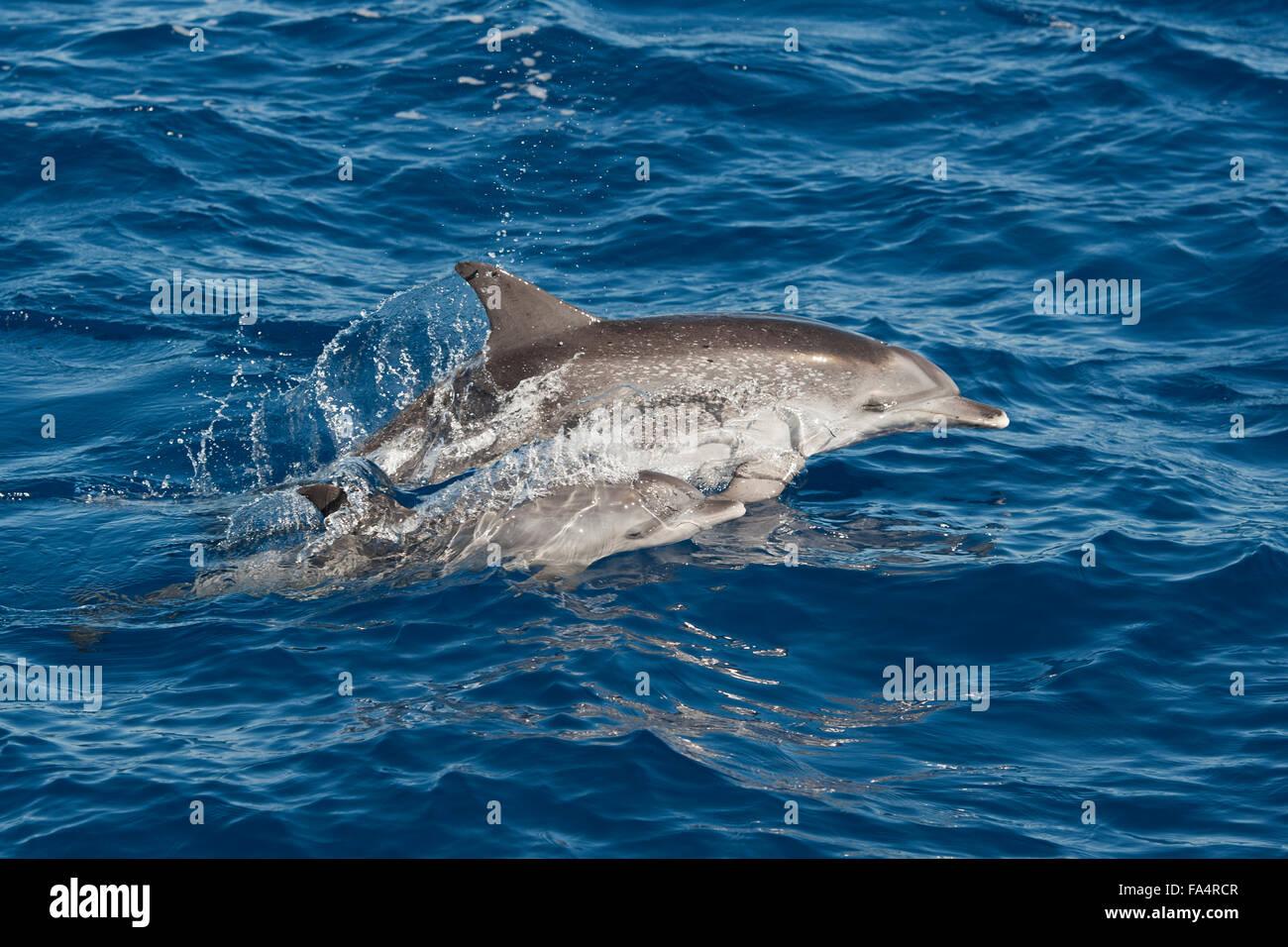 Atlantic Spotted Dolphin (Stenella frontalis), mother & calf porpoising, Azores, Atlantic Ocean. - Stock Image