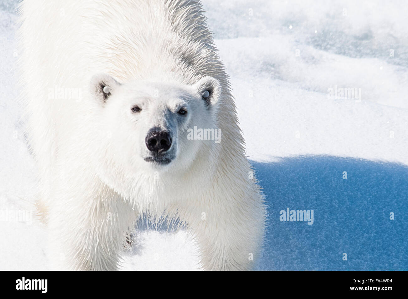 Close Up of a Young adult Polar Bear with tags in his ears so he can be tracked , Ursus maritimus, Svalbard Archipelago, - Stock Image