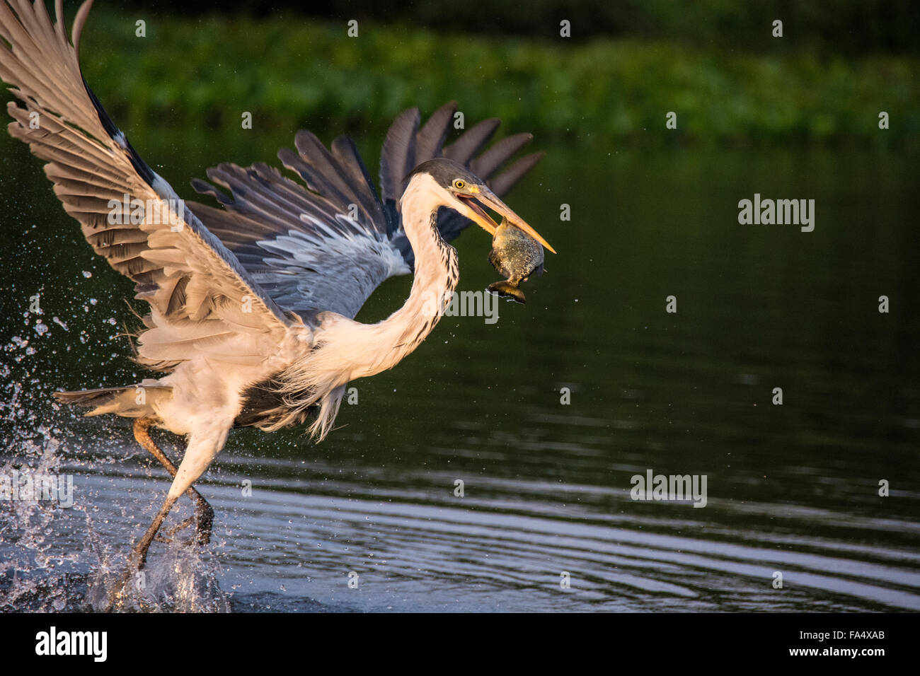 Cocoi Heron or White-necked Heron, Ardea cocoi, taking off with a fish in its beak, in the Pantanal, Mato Grosso, Stock Photo