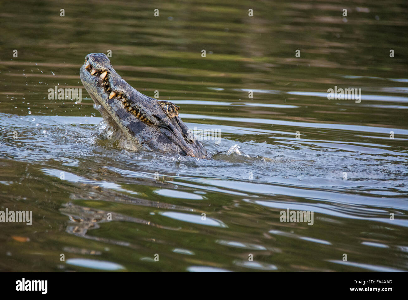 Yacare Caiman, Caiman crocodilus yacare, baring his teeth in a river in the Pantanal, Mato Grosso, Brazil, South America Stock Photo