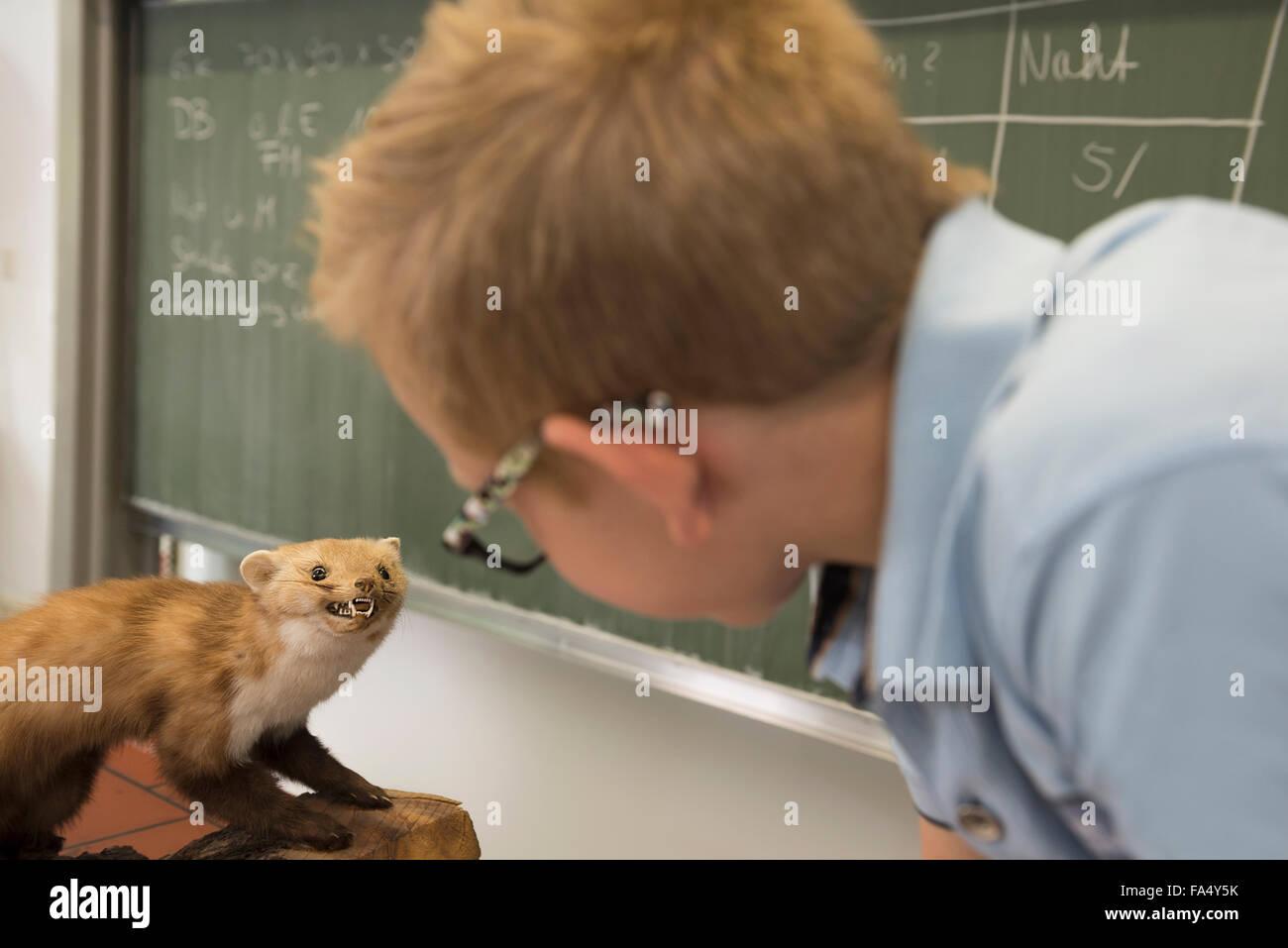 Schoolboy examining a marten in biology class, Fürstenfeldbruck, Bavaria, Germany - Stock Image