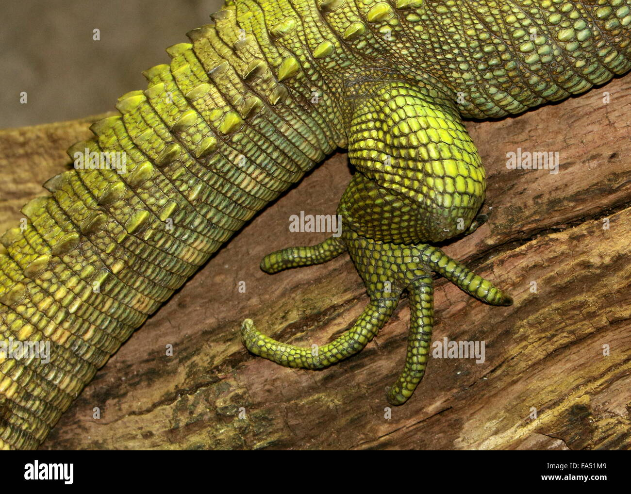 Claw on the hind leg of a South American Northern Caiman Lizard (Dracaena guianensis), a.k.a. Guianan Water Tegu - Stock Image