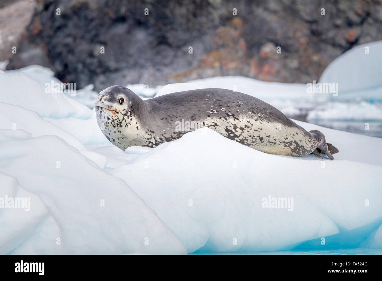 Leopard seal on an iceberg in Antarctica - looking at camera - Stock Image