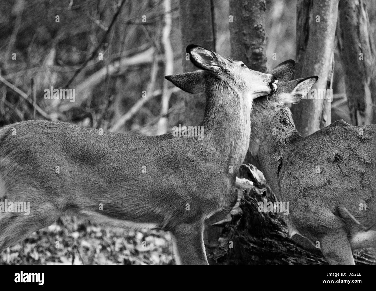A pair of deers show love to each other - Stock Image