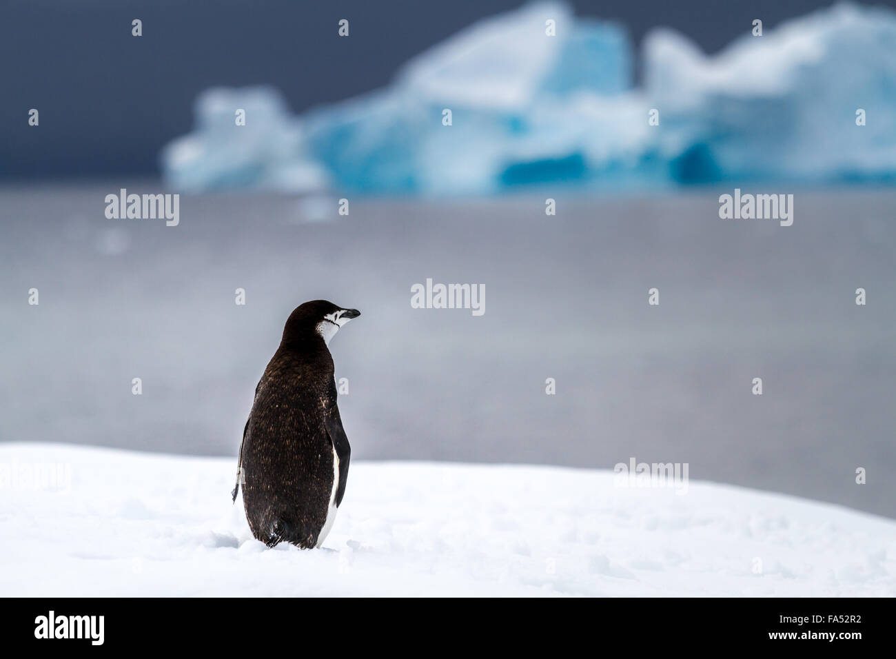 One wistful chinstrap penguin looking out over the sea in the snow in Antarctica with an iceberg in the background - Stock Image