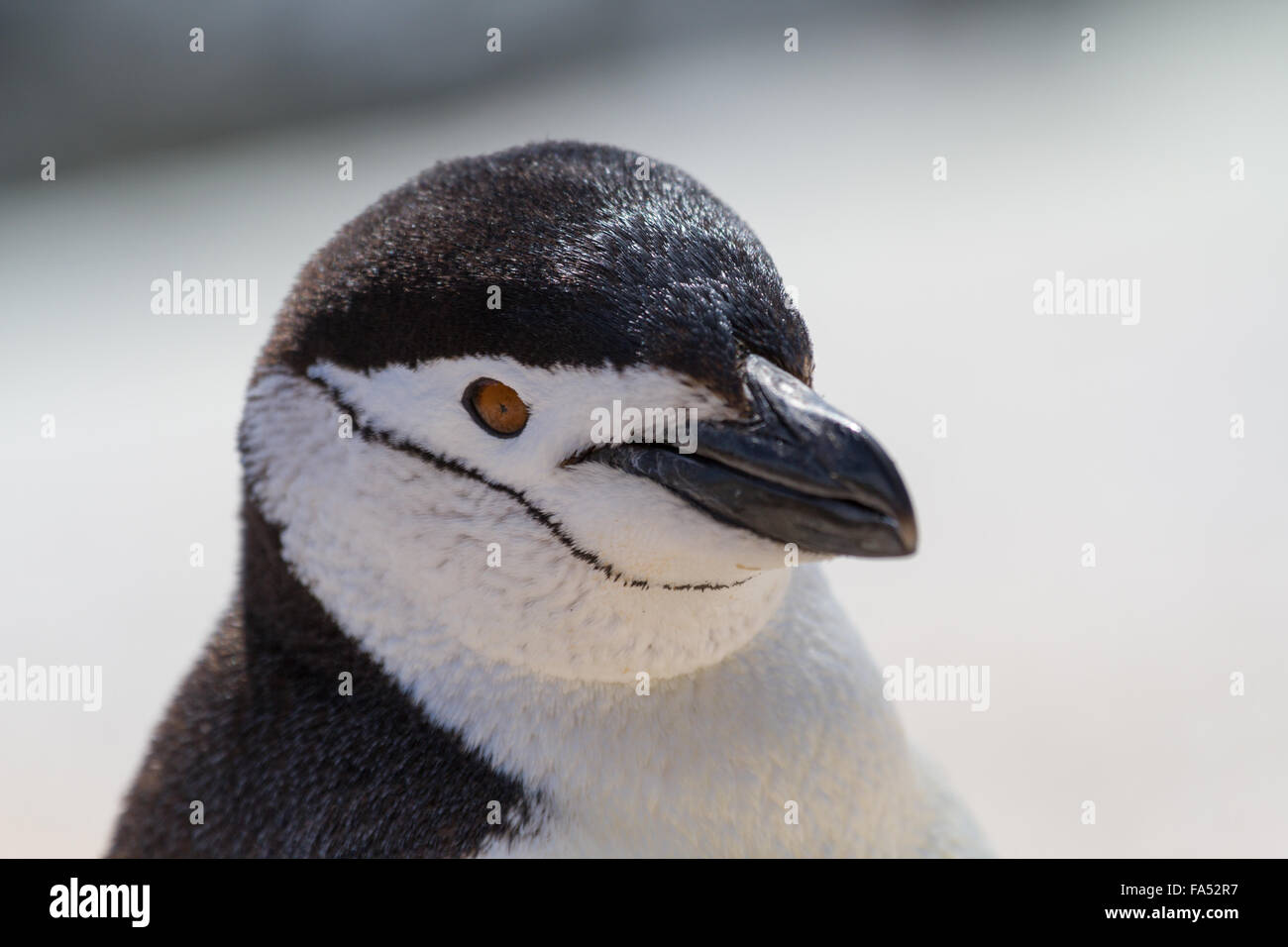 Beautiful portrait of a beautiful and clean chinstrap penguin in Antarctica Stock Photo
