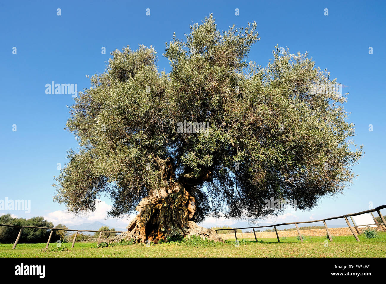 Image of a centuries-old olive tree photographed in daylight - Stock Image