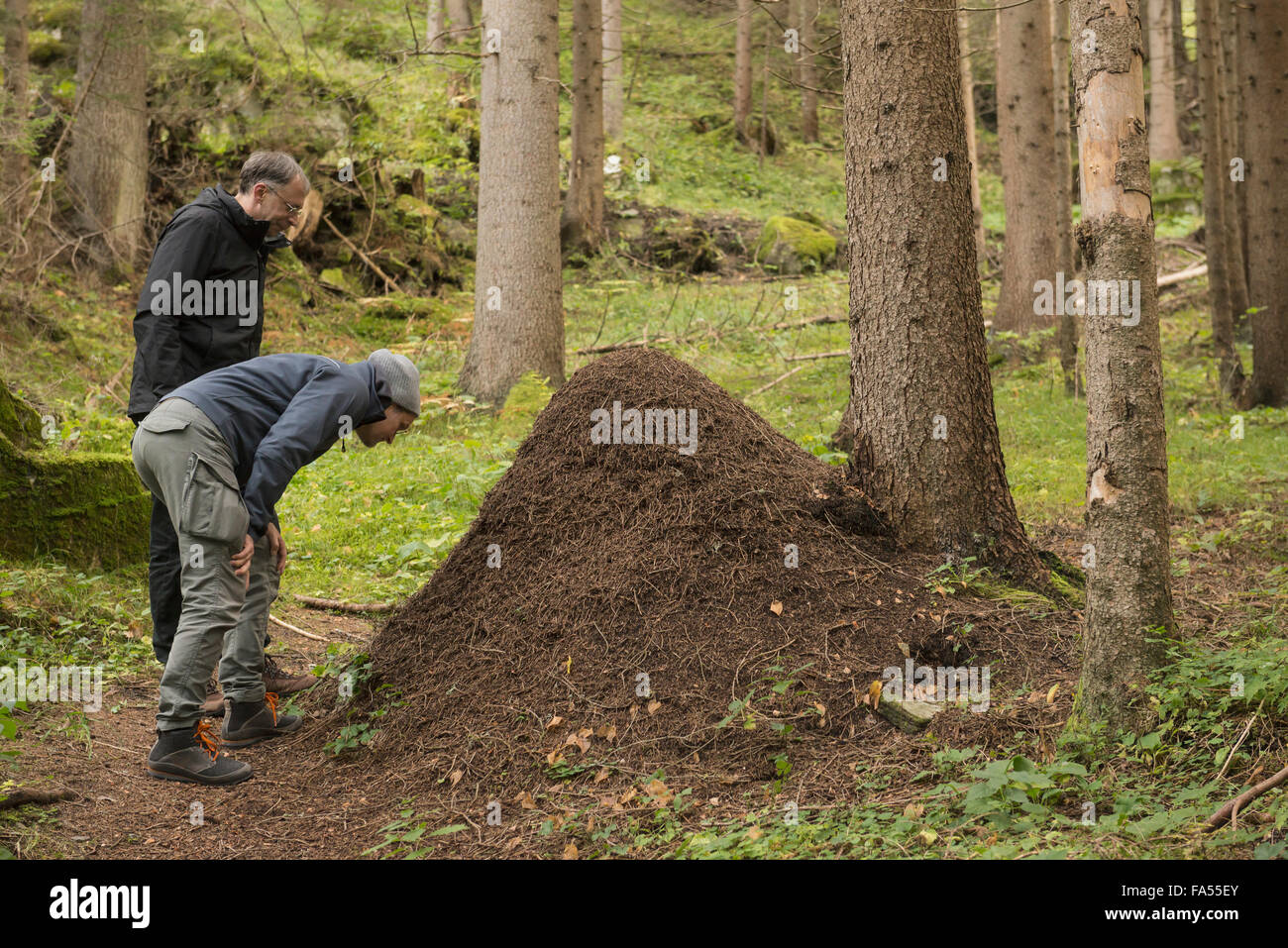 Two mature hikers looking at anthill in forest, Austrian Alps, Carinthia,  Austria - Stock Image