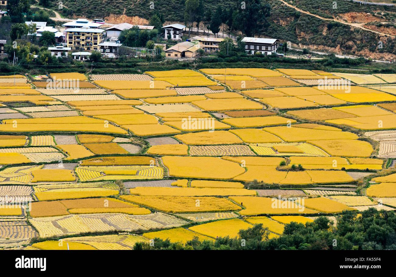 Yellow, ripe rice fields, Paro valley, Paro, Bhutan - Stock Image