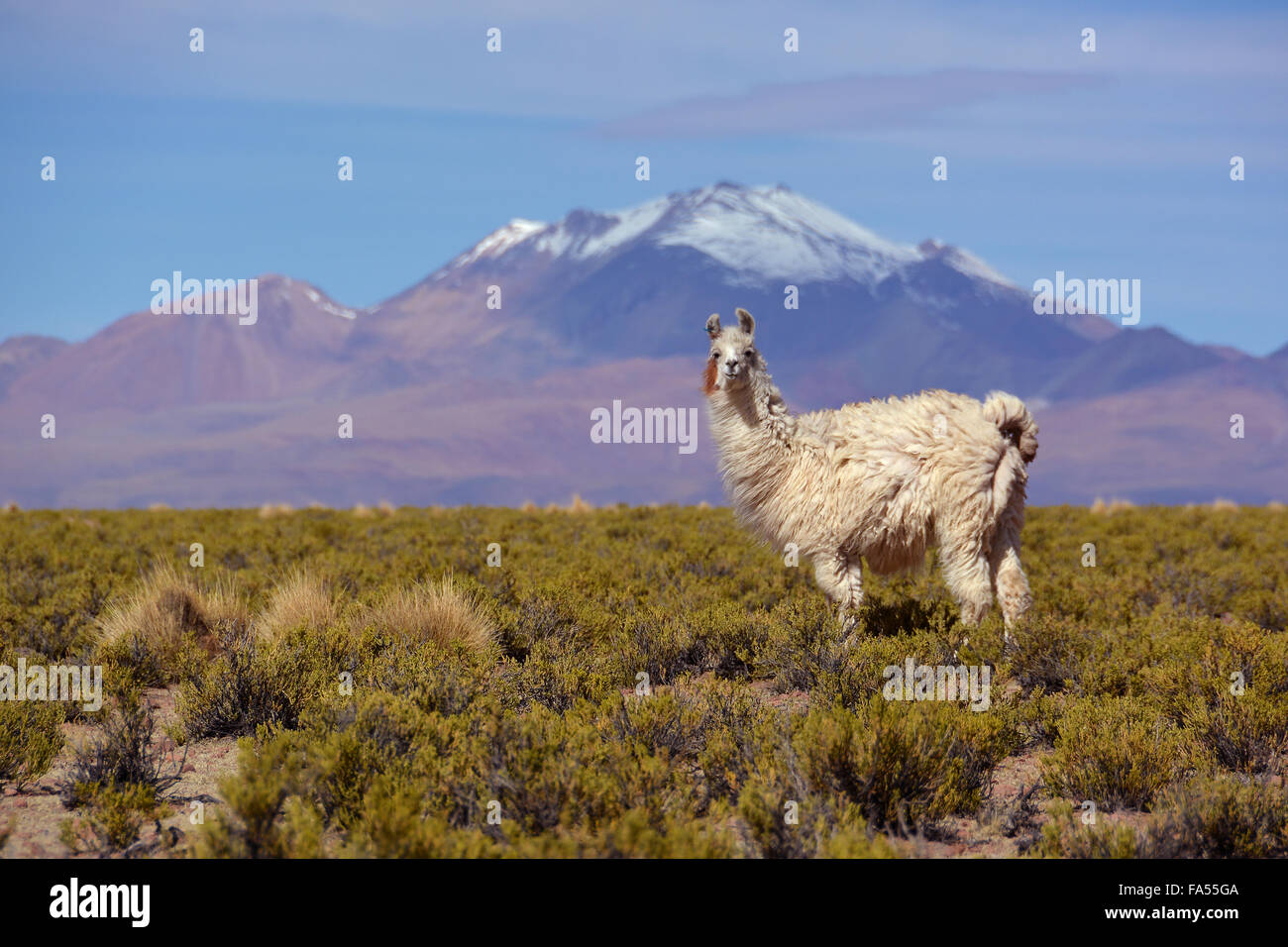Llama (Lama glama) in front of snow-capped Andes, Uyuni, Altiplano, Bolivia - Stock Image