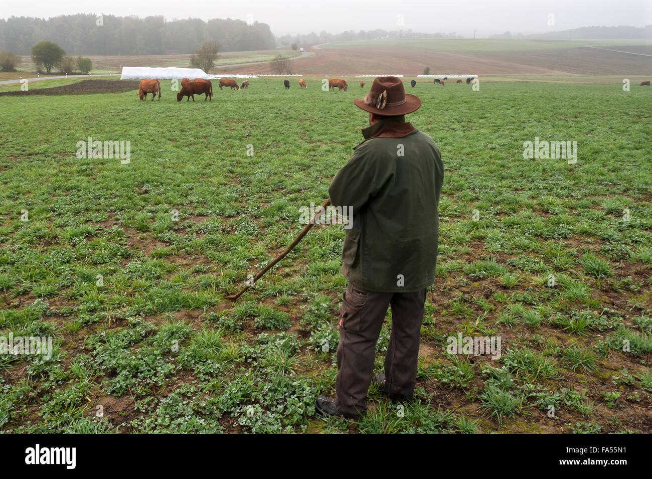 Farmer tending his Salers cattle in meadow, grass and clover meadow, Middle Franconia, Bavaria, Germany - Stock Image