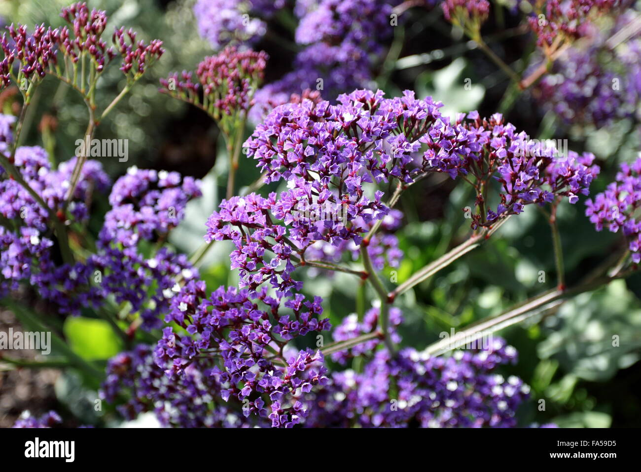 Close up of Limonium perezii  or also known as  Statice or  Sea Lavender - Stock Image