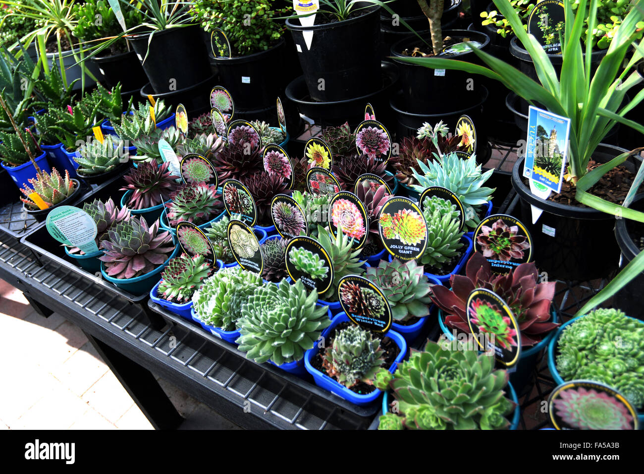 Mixed varieties of succulents for sale at local nursery - Stock Image