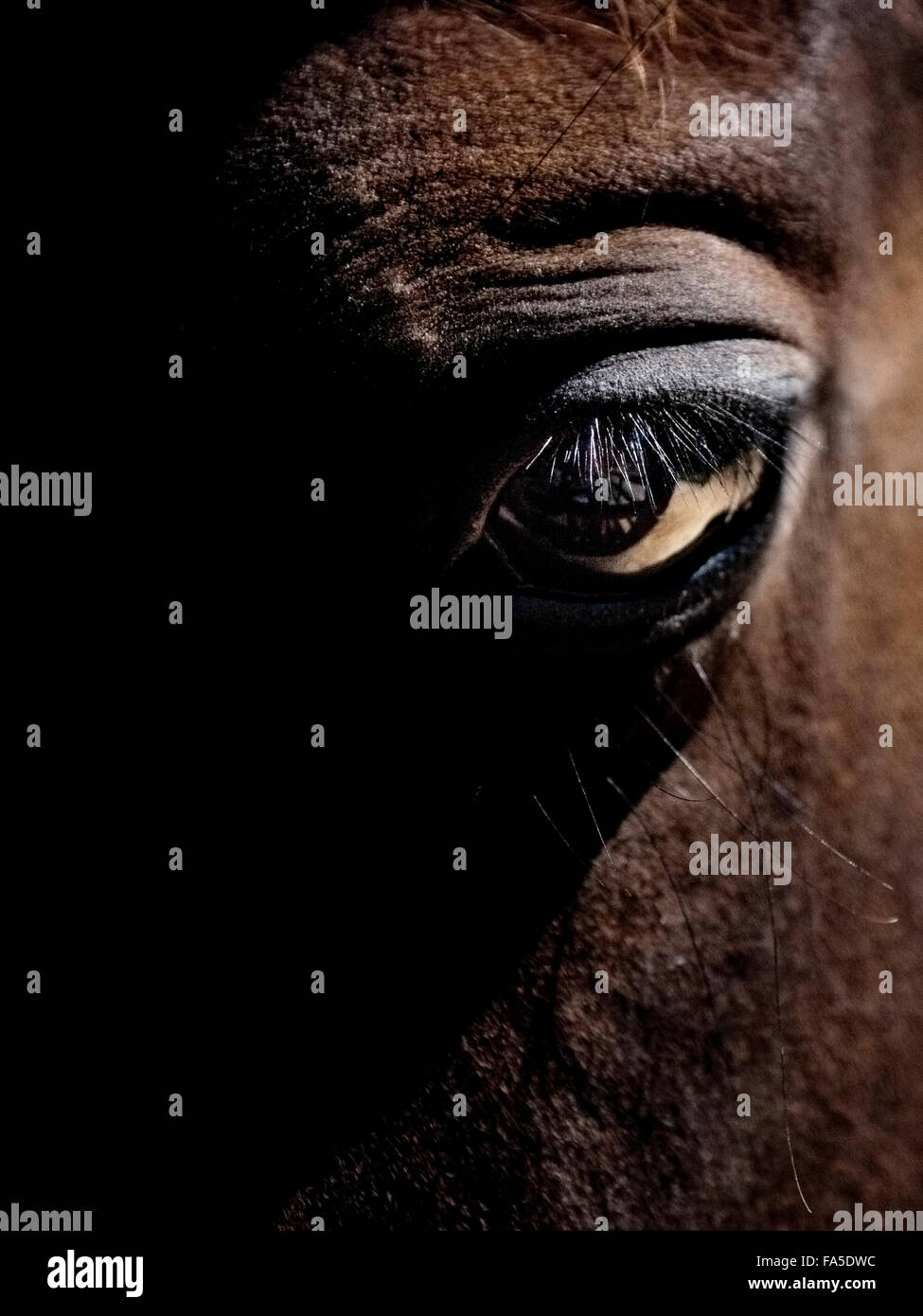 A colt Australian Stock Horse in Spring Spur Stable, Tawonga. - Stock Image