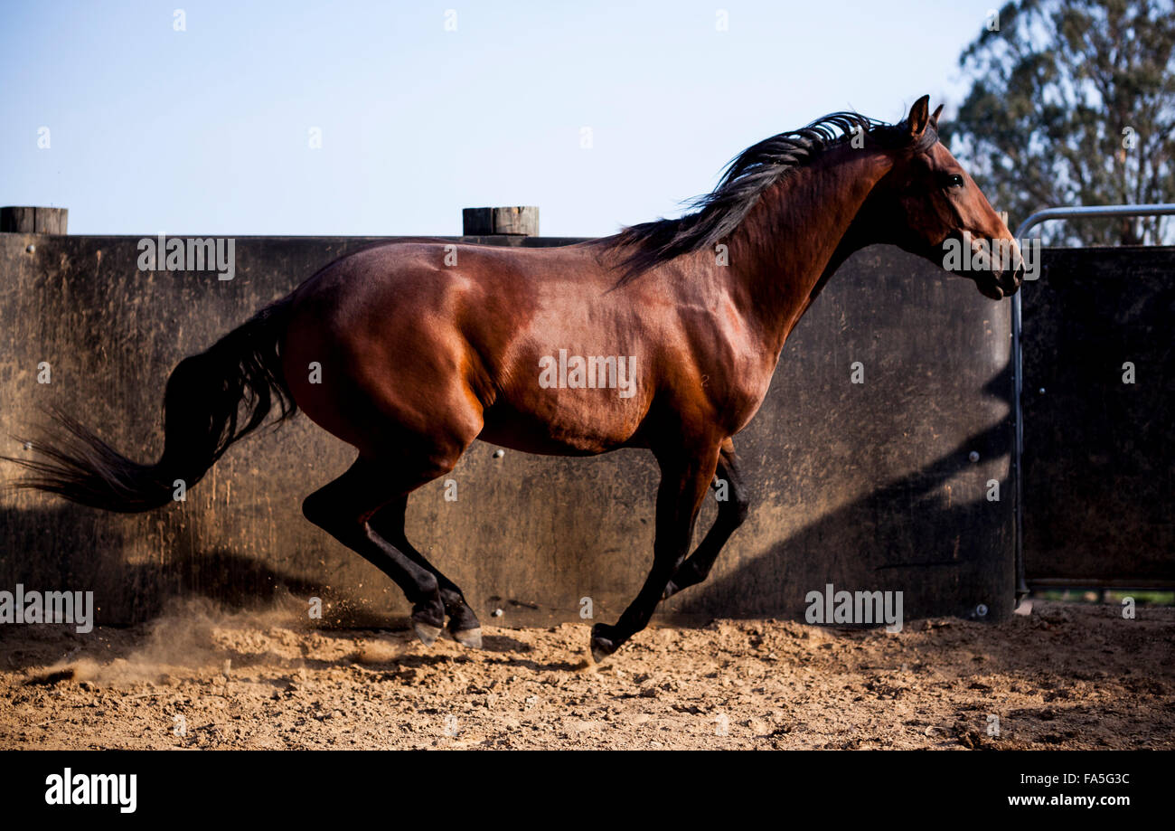 A colt Australian Stock Horse being worked in a round yard in the Victorian High Country. - Stock Image