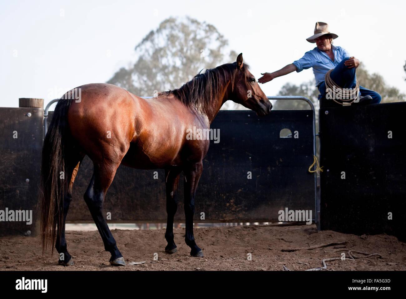 Steve Baird of Bogong Horseback Adventures training a colt Australian Stock Horse in the round yard at Spring Spur. - Stock Image