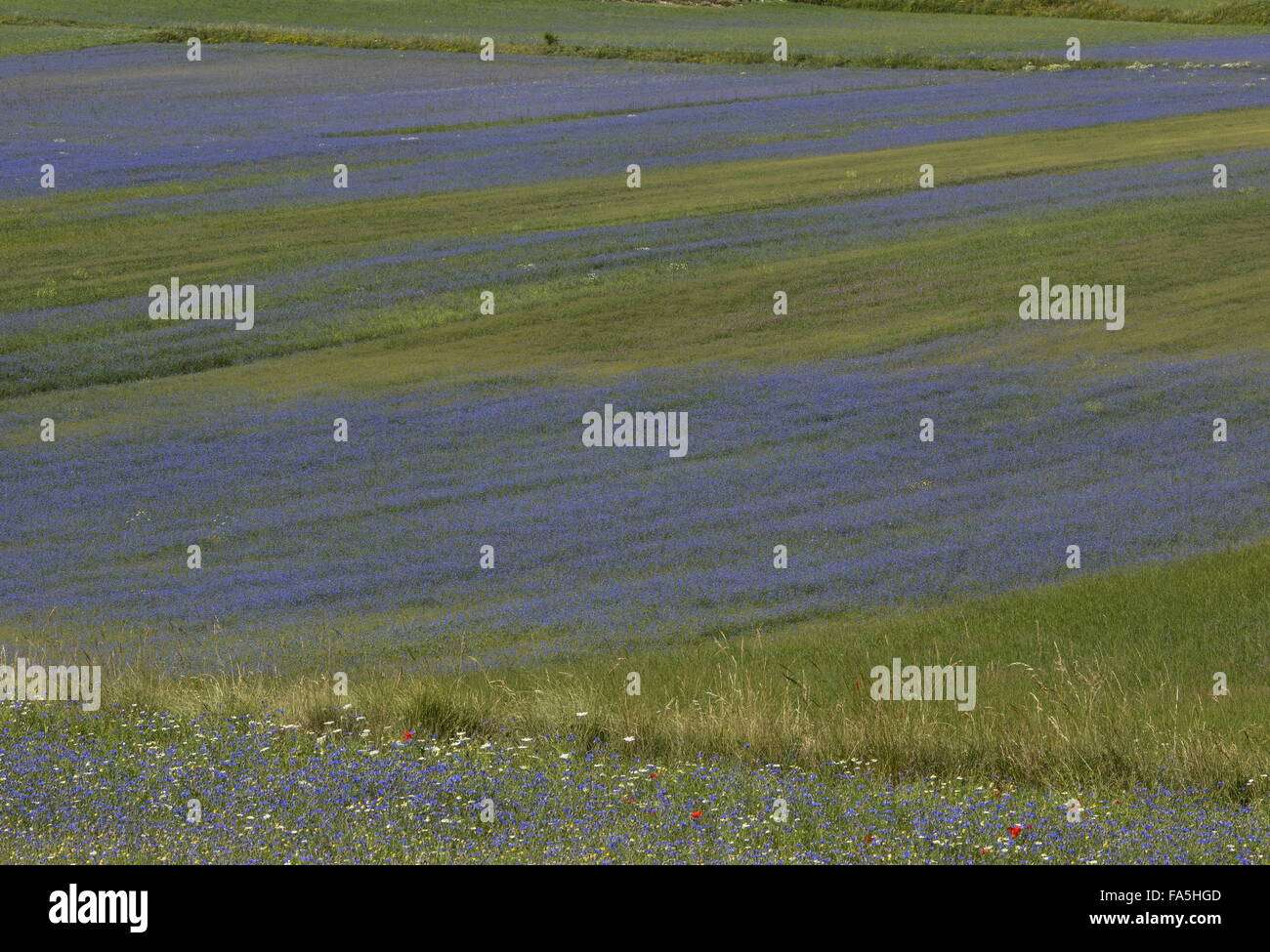 Arable fields with cornflowers in Monti Sibillini National Park, Umbria, Italy Stock Photo