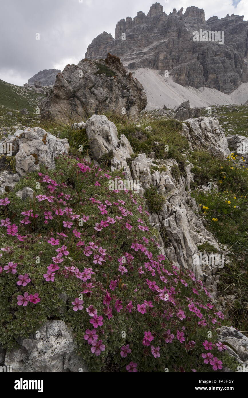 Shining Cinquefoil, Potentilla nitida in flower in the high Dolomites, Italy. - Stock Image
