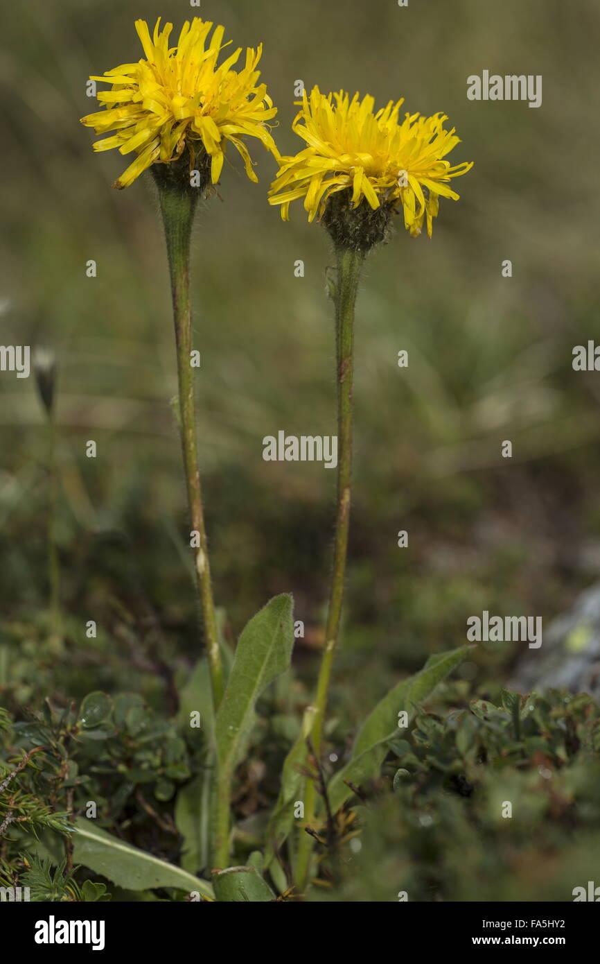 Giant Cat's Ear, Hypochaeris uniflora in flower in acid mountain pastures, Alps. Stock Photo