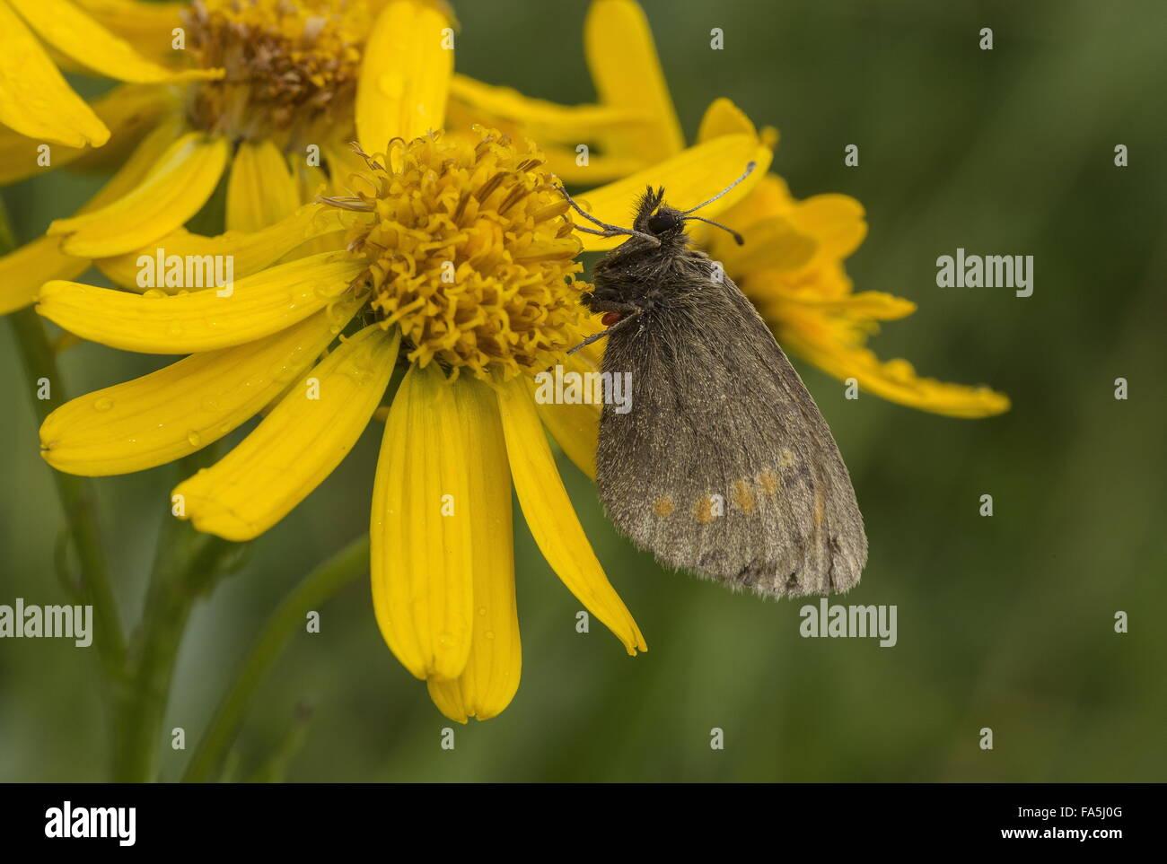 Blind Ringlet, Erebia pharte, settled in damp weather, Dolomites, Italy. European endemic. - Stock Image