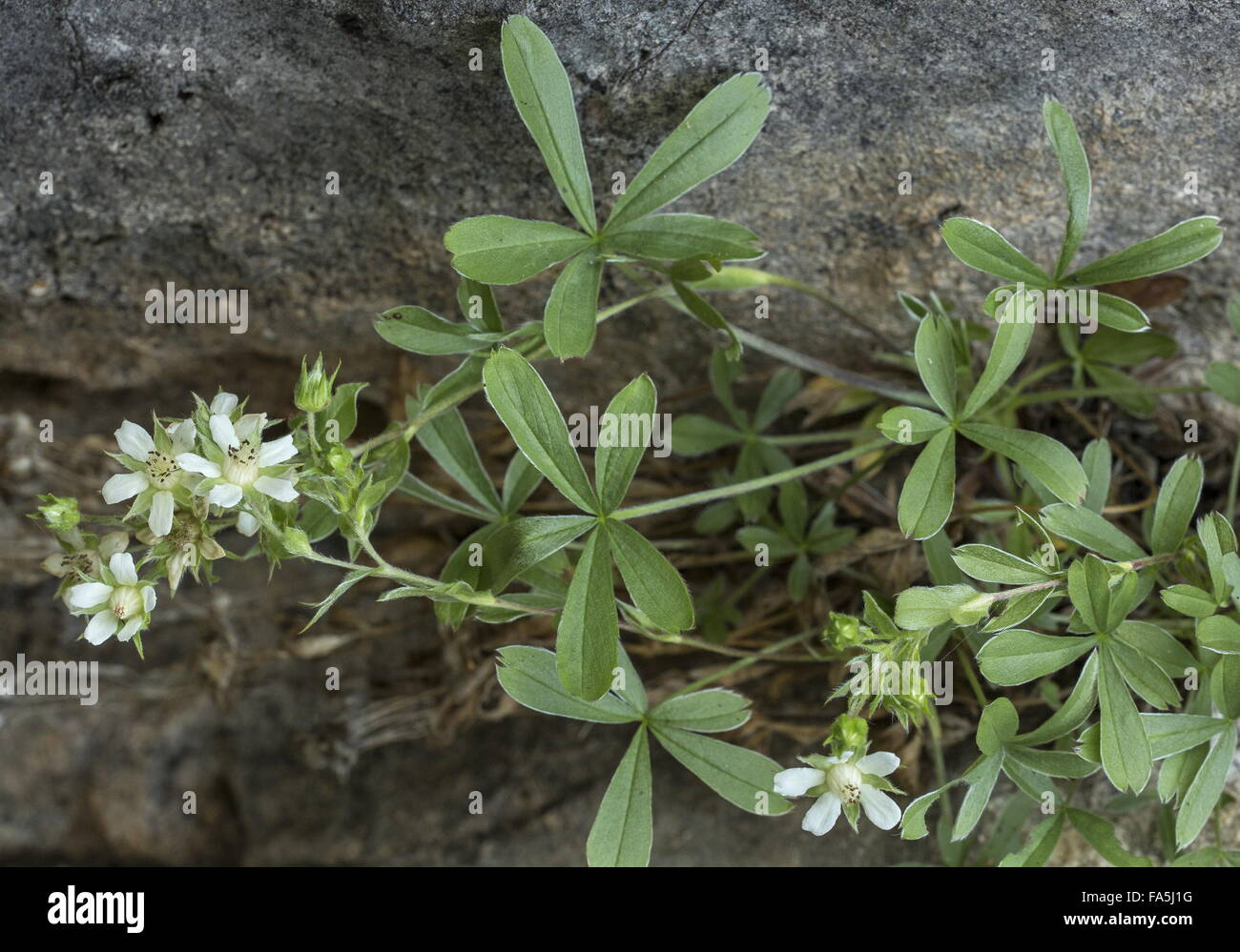 Lax cinquefoil, Potentilla caulescens in flower on dolomite cliff, Dolomites. - Stock Image