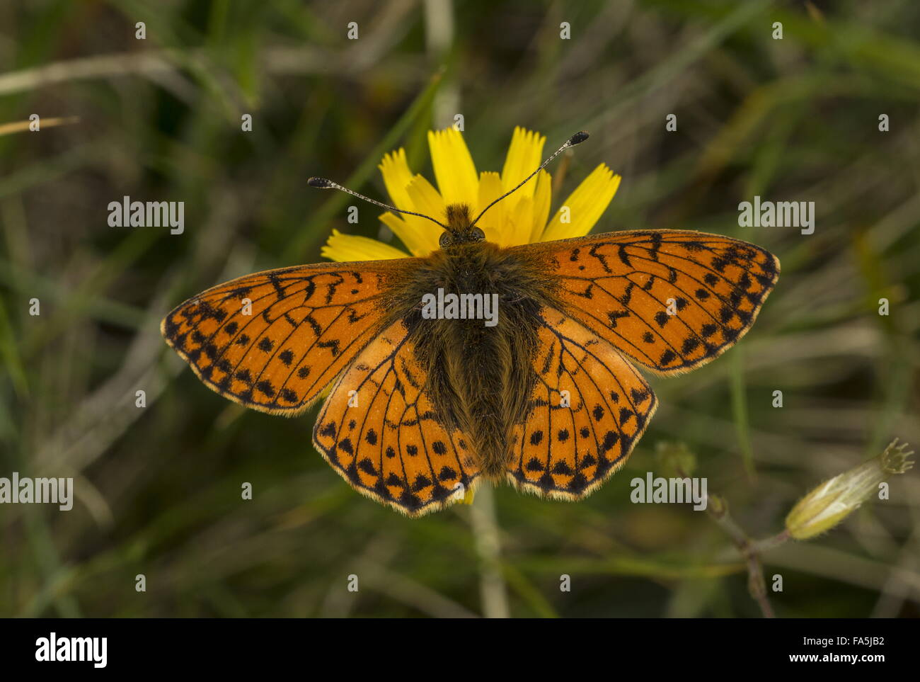 Shepherd's Fritillary, Boloria pales on hawkbit at 2500 m on slopes of Matterhorn. Stock Photo