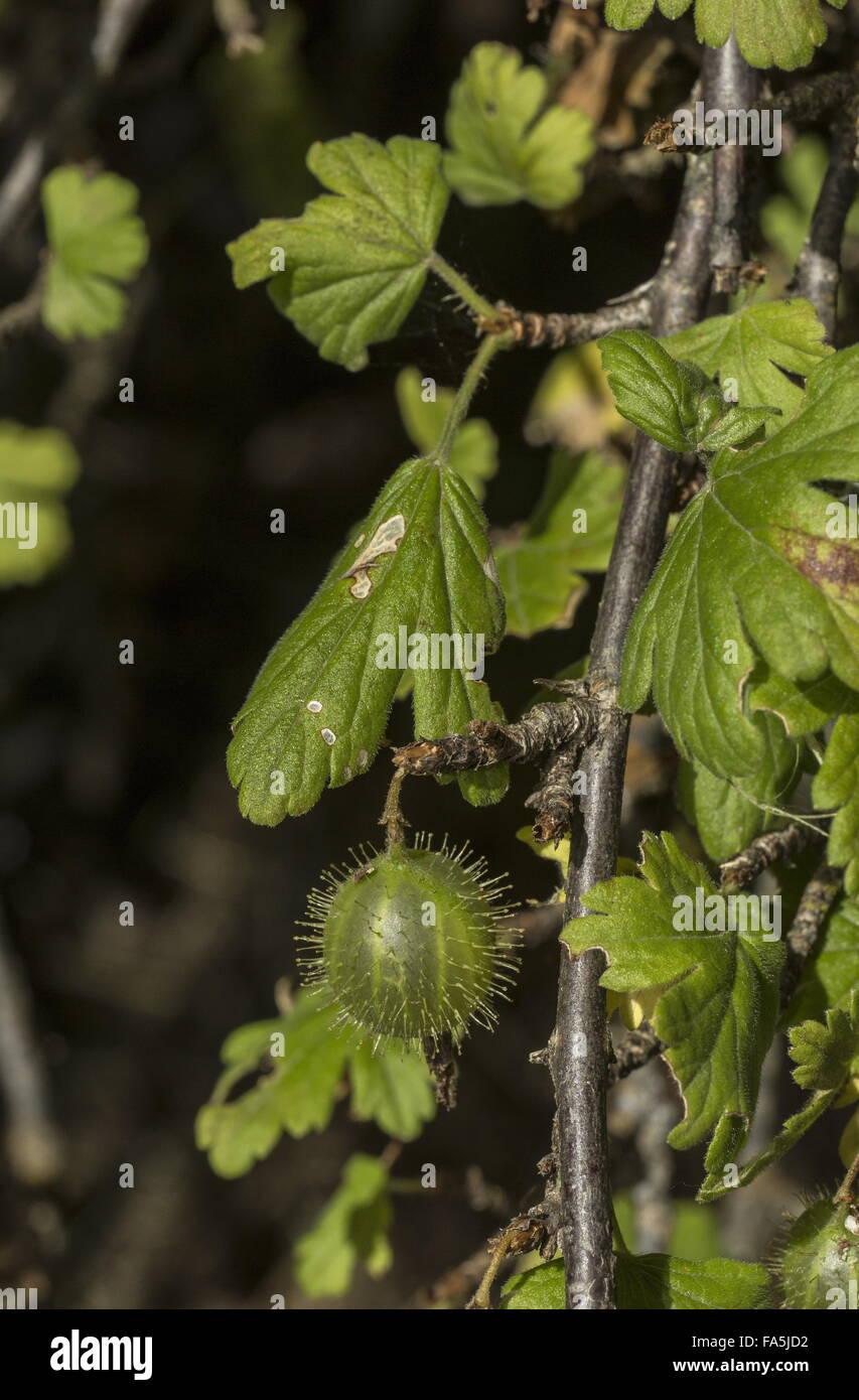 Ripening wild Gooseberry, Ribes uva-crispa fruit - Stock Image