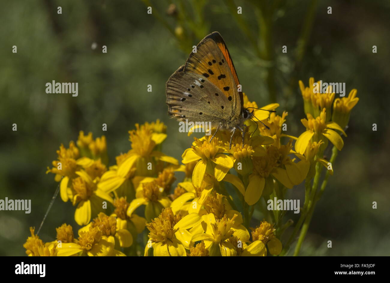 Female scarce copper visiting ragwort flowers, Italy. Stock Photo