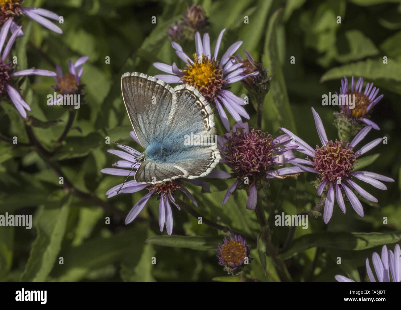 Chalk-hill blue, Polyommatus coridon, on garden aster, Alps. - Stock Image