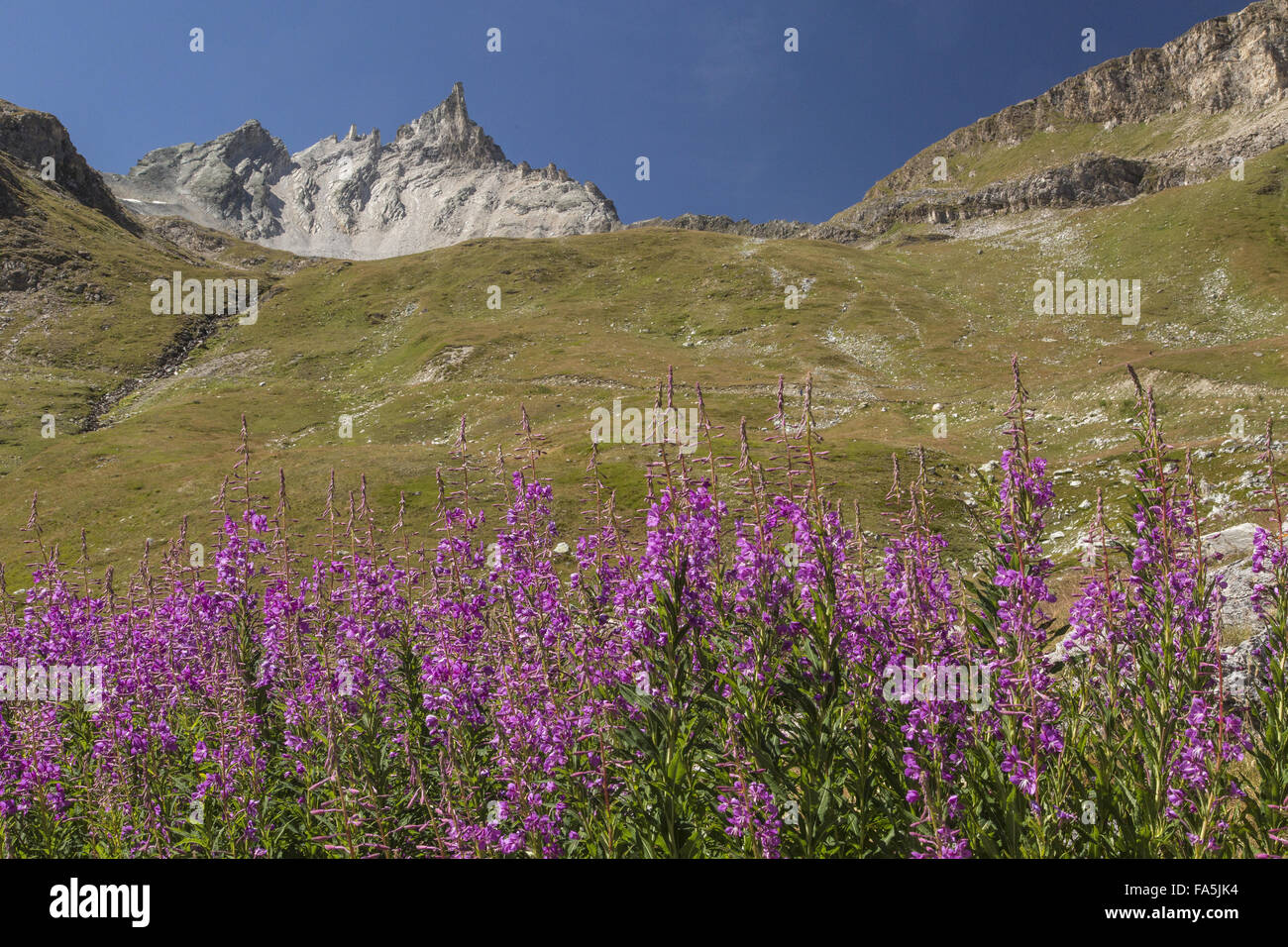 Fireweed or Rosebay Willowherb in flower, with L'aiguille du Dome beyond; La Grande Sassiere valley, edge of - Stock Image